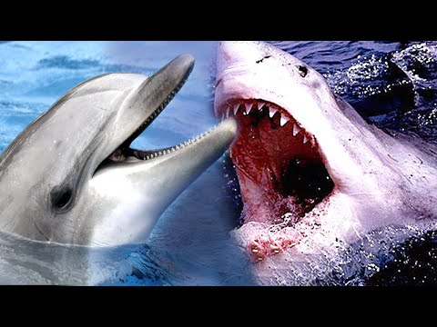 Here's why sharks are afraid of dolphins ?