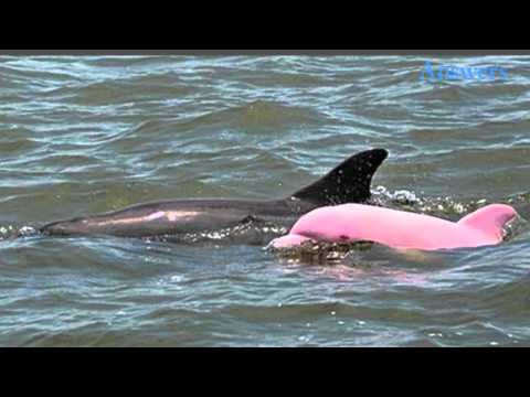 Yep, he's real! this cute guy is a pink dolphin, and he's one of only a few spotted in the wild