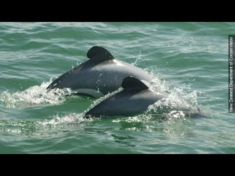Nz government stalls as maui's dolphin nears extinction