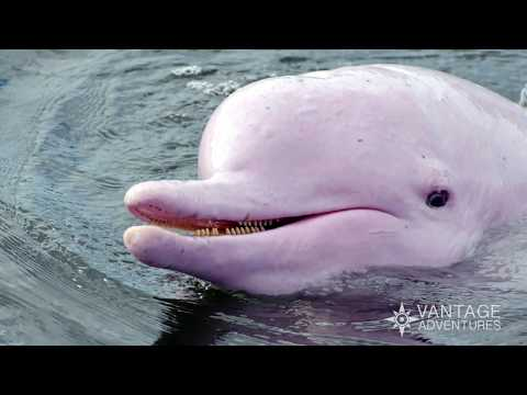 Bumping noses with boto, the amazon river's pink dolphins