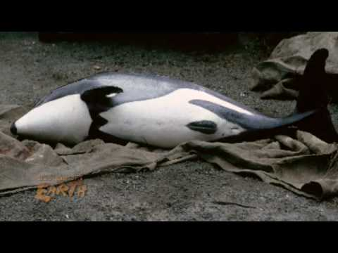 Endangered dolphins in new zealand