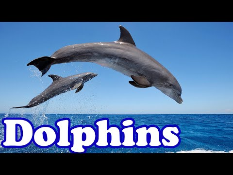 Dolphins - smartest animals in the sea   animal of the day   educational animal videos for kids