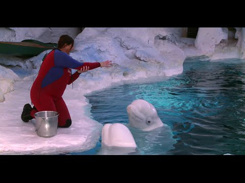 Why are beluga whales called sea canaries?