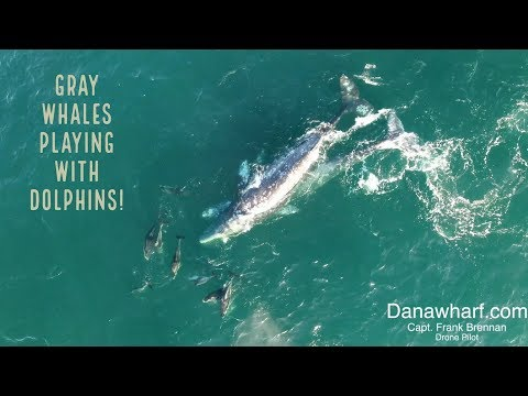 Gray whales playing with dolphins