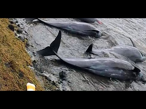 Dozens of dolphins washed up on the shores of mauritius after an oil spill