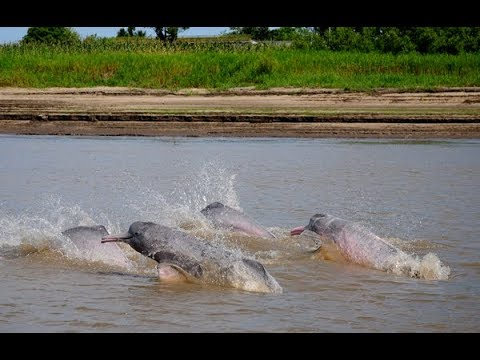 Amazon river dolphins (pink dolphins) | whale and dolphin conservation