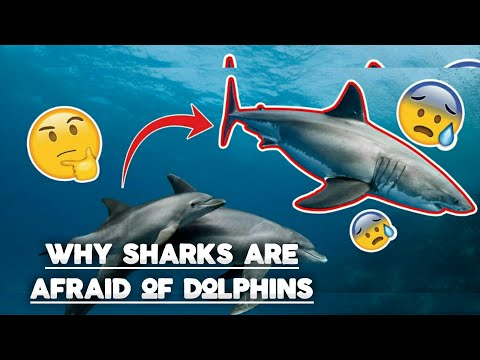 Why are sharks scared of dolphins?