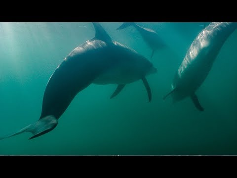 Dolphins fight off shark!   bbc earth