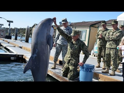 Us navy dolphins to help save endangered species