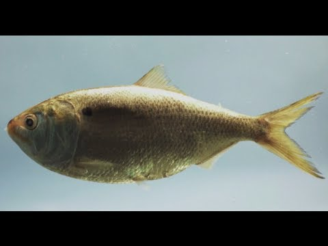 Help save menhaden: quite possibly, the most important fish in the sea   pew