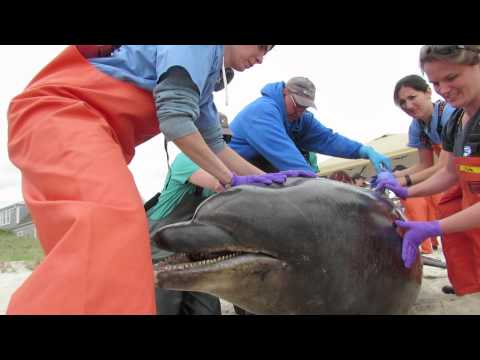 Bottlenose dolphin necropsy in south yarmouth