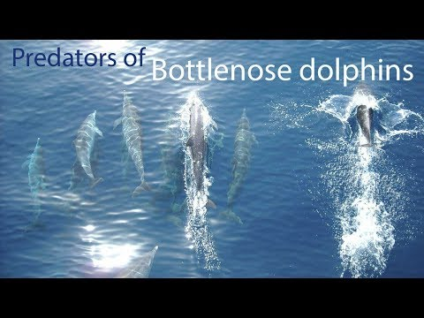 What are the natural predators of bottlenose dolphins?