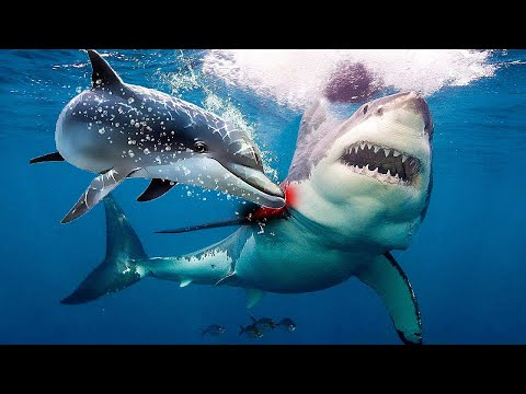 Why are shark afraid of dolphins?