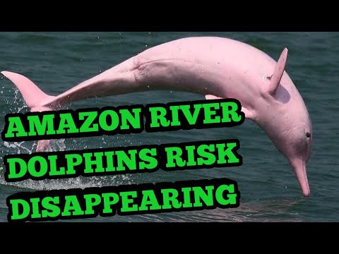 Amazon river tucuxi dolphins at risk of disappearing