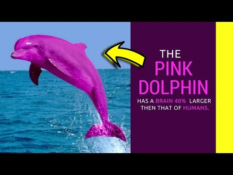 Pink dolphin facts for kids information about amazon river dolphin