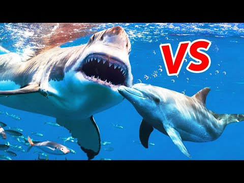 Why are sharks afraid of dolphins?