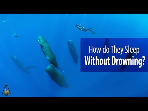 How do whales and dolphins sleep without drowning?