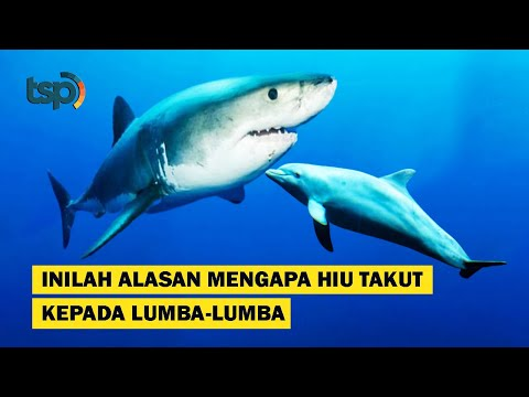 [eng sub] this is why sharks are scared of dolphins