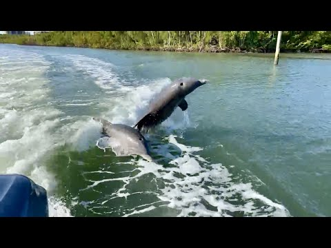 2 bottlenose dolphins riding our boat's wake in north naples, fl