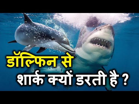 Dolphins vs sharks facts    why are sharks afraid of dolphins documentary in hindi